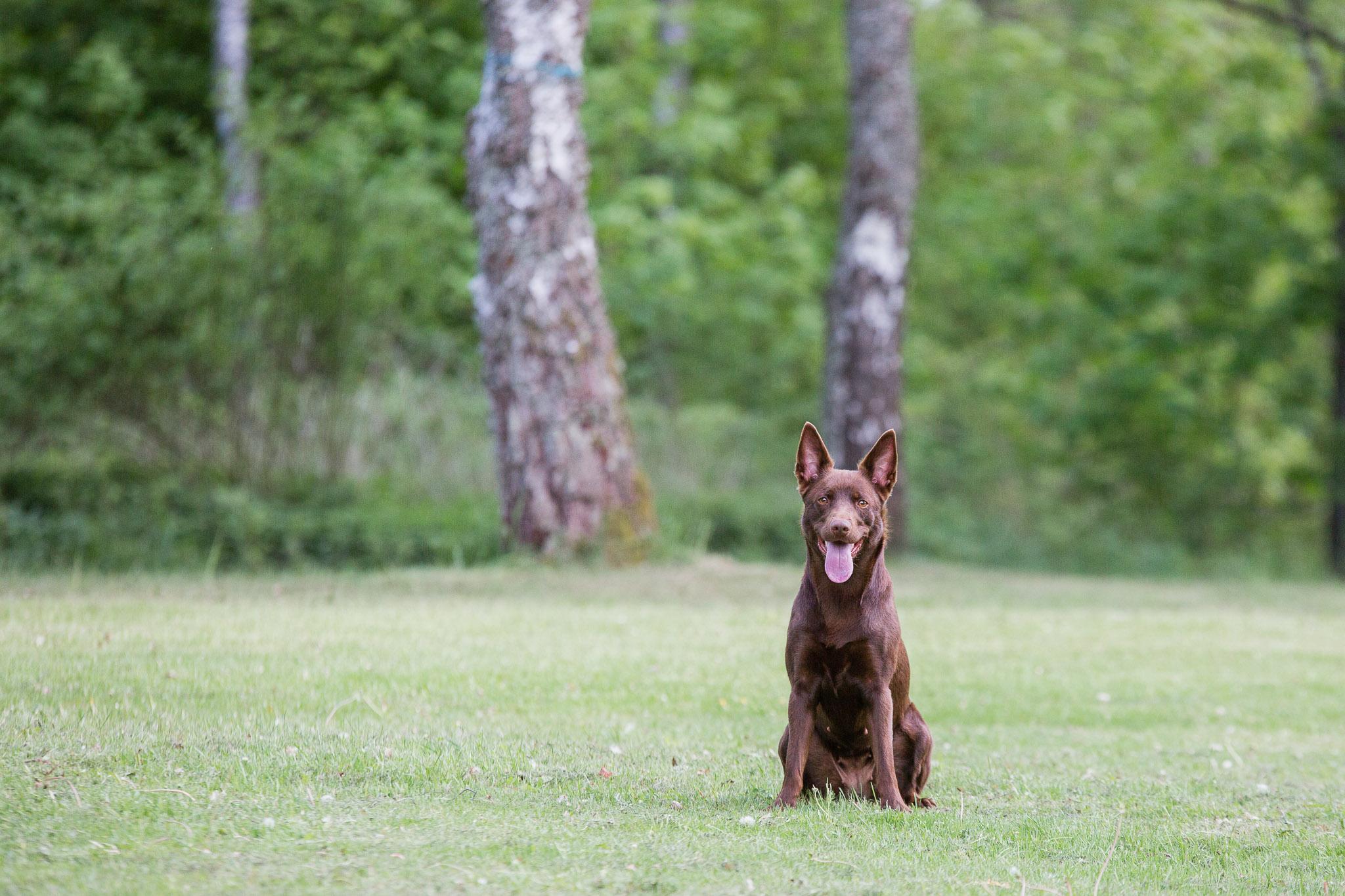 Annatarfoto hundfotografering djurfotografering kelpie Karlsnäs Ronneby