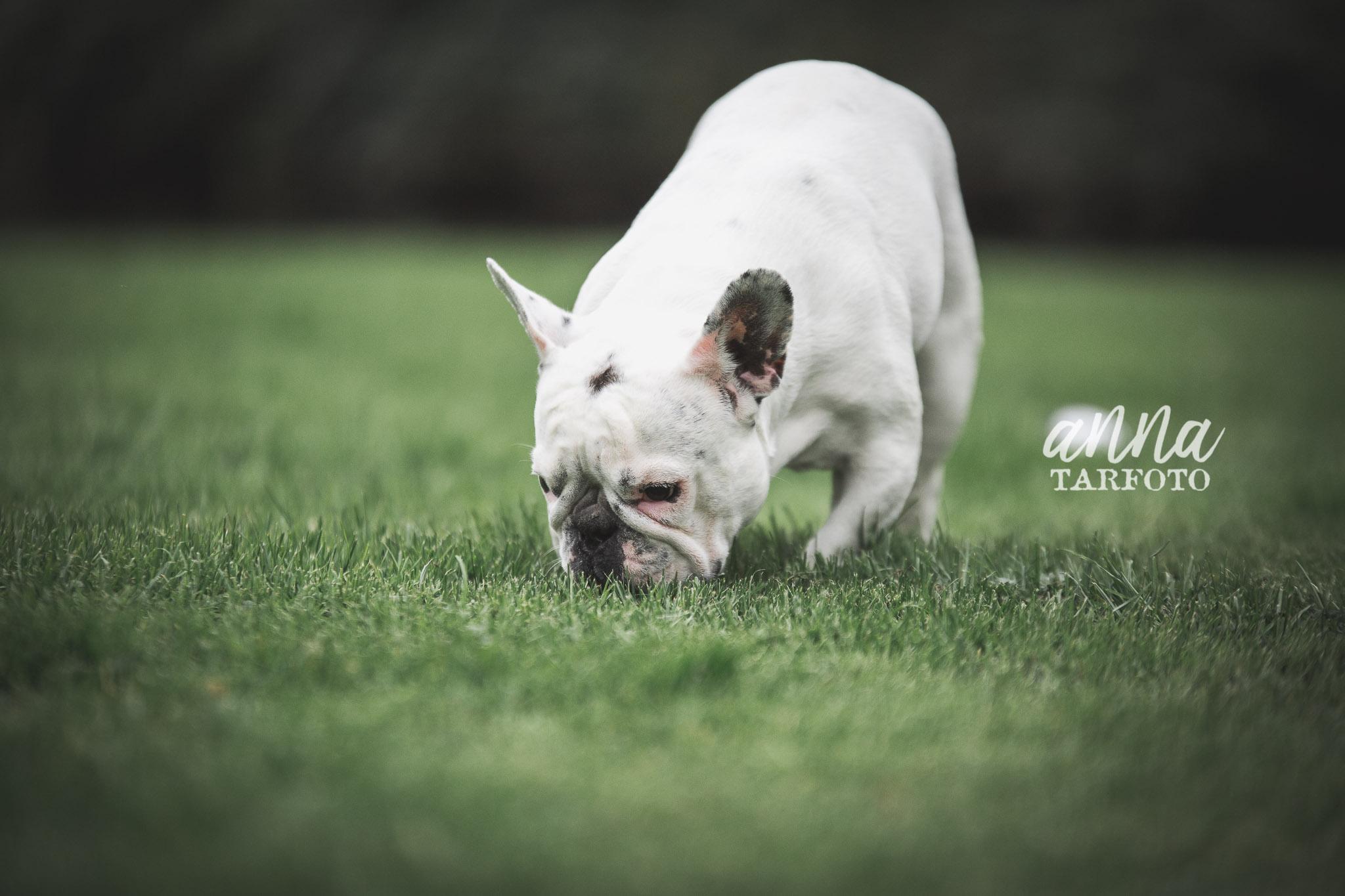 Fransk bulldog i Ronneby Brunnspark